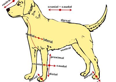 dog chiropractic