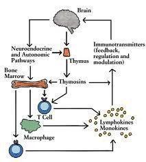 immune diagram